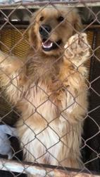 Retriever Rescue Las Vegas Dog Rescue